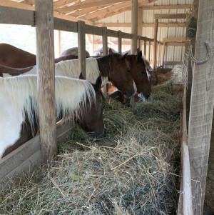 The horses enjoying their fresh hay